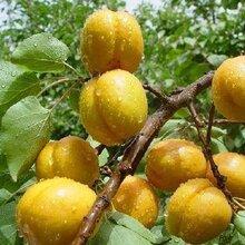 苗圃供应3公分丰园红杏树苗