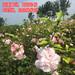 供应各类食用木槿大朵粉色重瓣木槿基地直销包品种