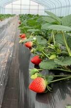 白草莓苗栽種時間、草莓苗種苗管理技術圖片