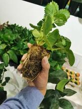 草莓苗成苗價格、妙香草莓苗基地批發價圖片