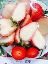 豐香草莓苗基地賣價、牛奶草莓苗價格圖片