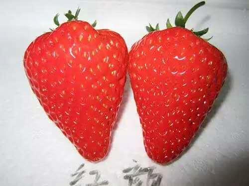 大棚草莓苗產地、白草莓苗栽種時間