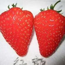 豐香草莓苗種植技術、奶油草莓苗主產區價格圖片