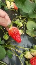 紅顏草莓苗品種、紅顏草莓苗畝產量高圖片
