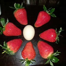白草莓苗產地、章姬草莓苗種植技術圖片