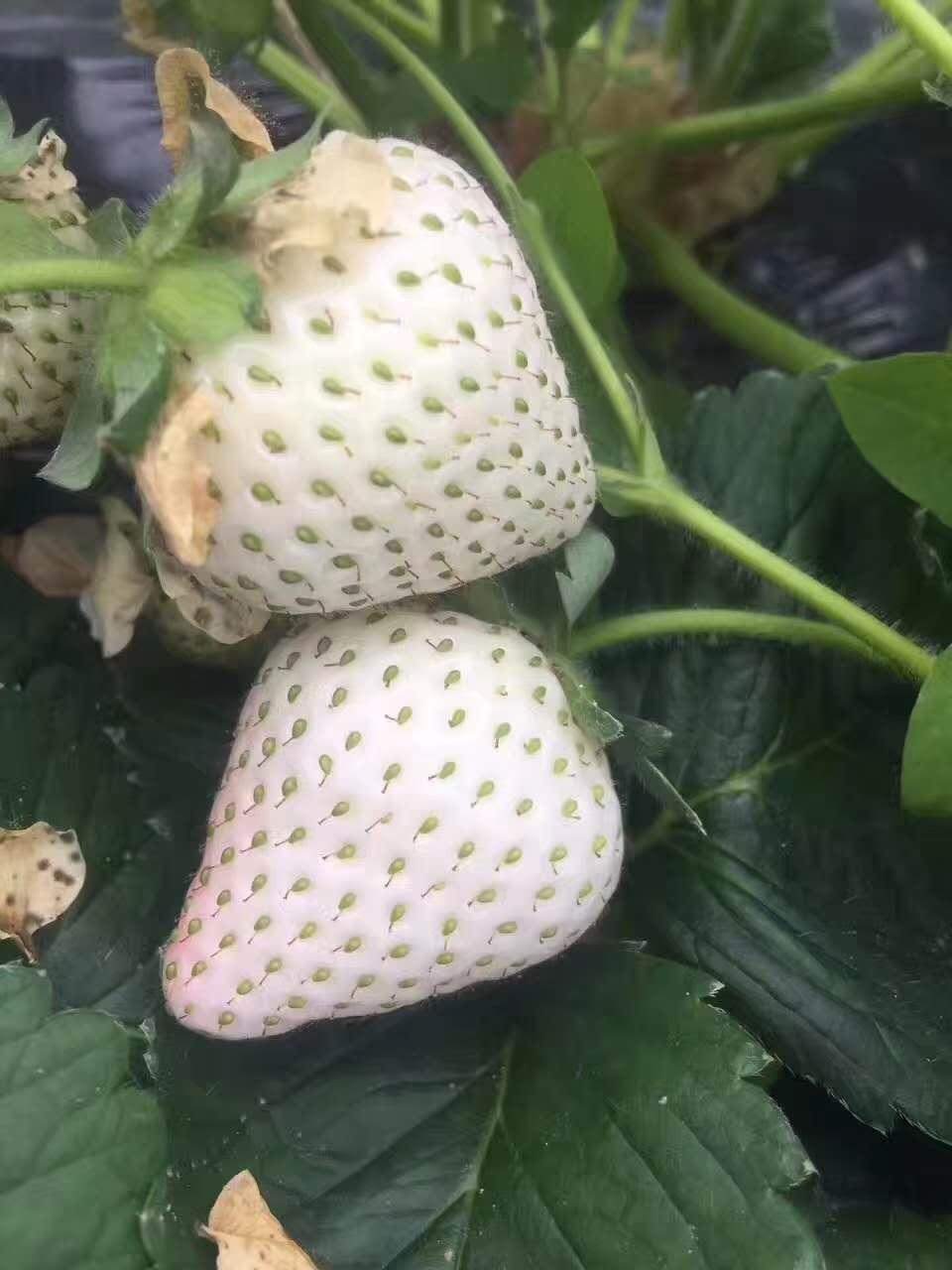 小白草莓苗種植技術、章姬草莓苗基地批發價