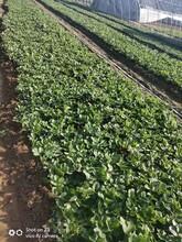 豐香草莓苗本地賣苗價格、草莓苗成苗栽種時間圖片