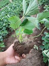 草莓苗成苗栽種時間、白雪公主草莓苗基地批發價圖片