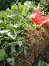章姬草莓苗畝產量高、甜寶草莓苗畝產量高圖片