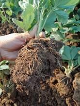 草莓苗成苗品種、章姬草莓苗主產區價格圖片