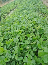 妙香草莓苗一畝苗價格、白草莓苗本地賣苗價格圖片