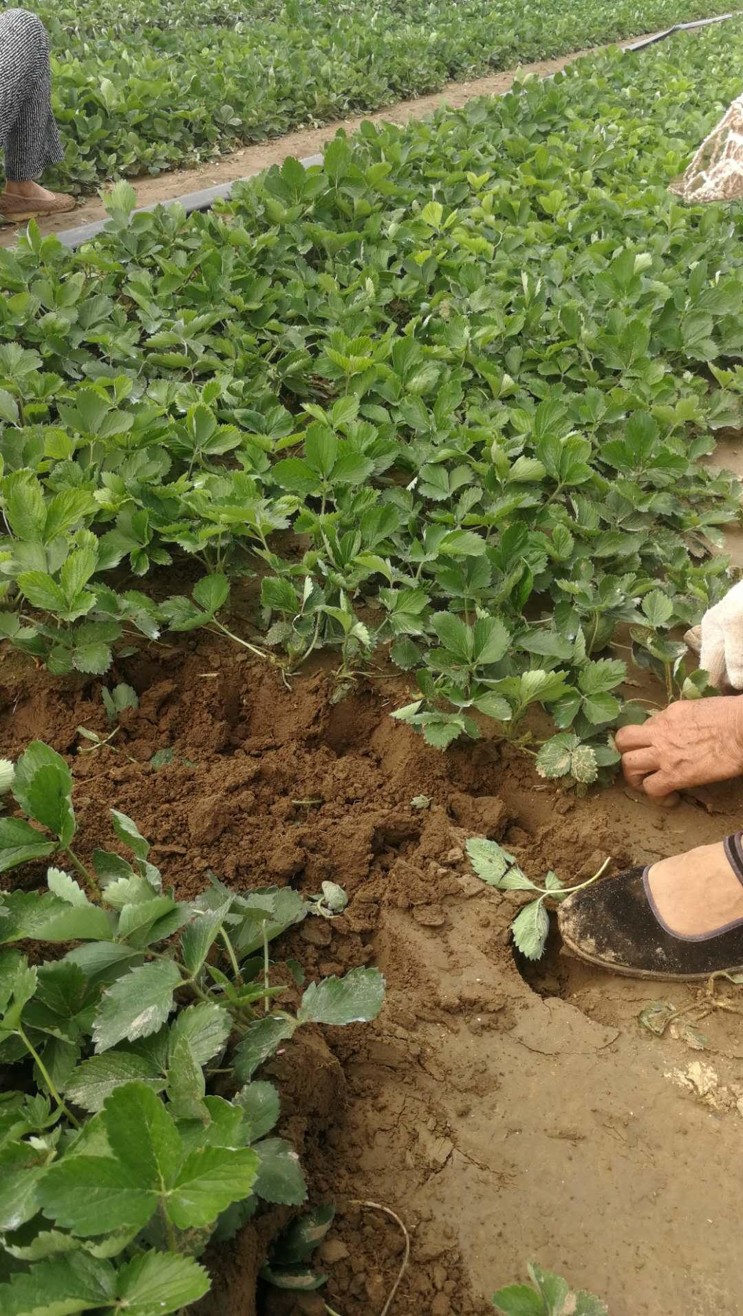 牛奶草莓苗種植技術、章姬草莓苗栽種時間