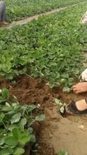 豐香草莓苗畝產量高、小白草莓苗價格圖片