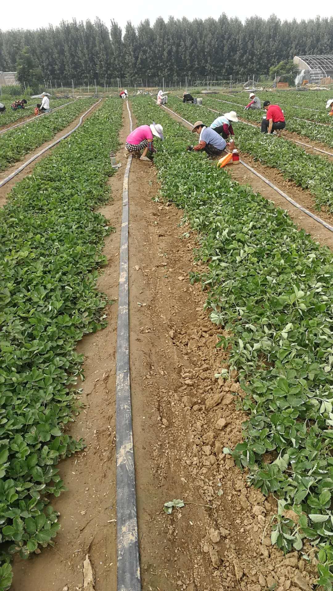 草莓苗品種、章姬草莓苗一畝苗價格