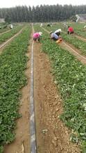 豐香草莓苗種植技術、奶油草莓苗種植技術圖片