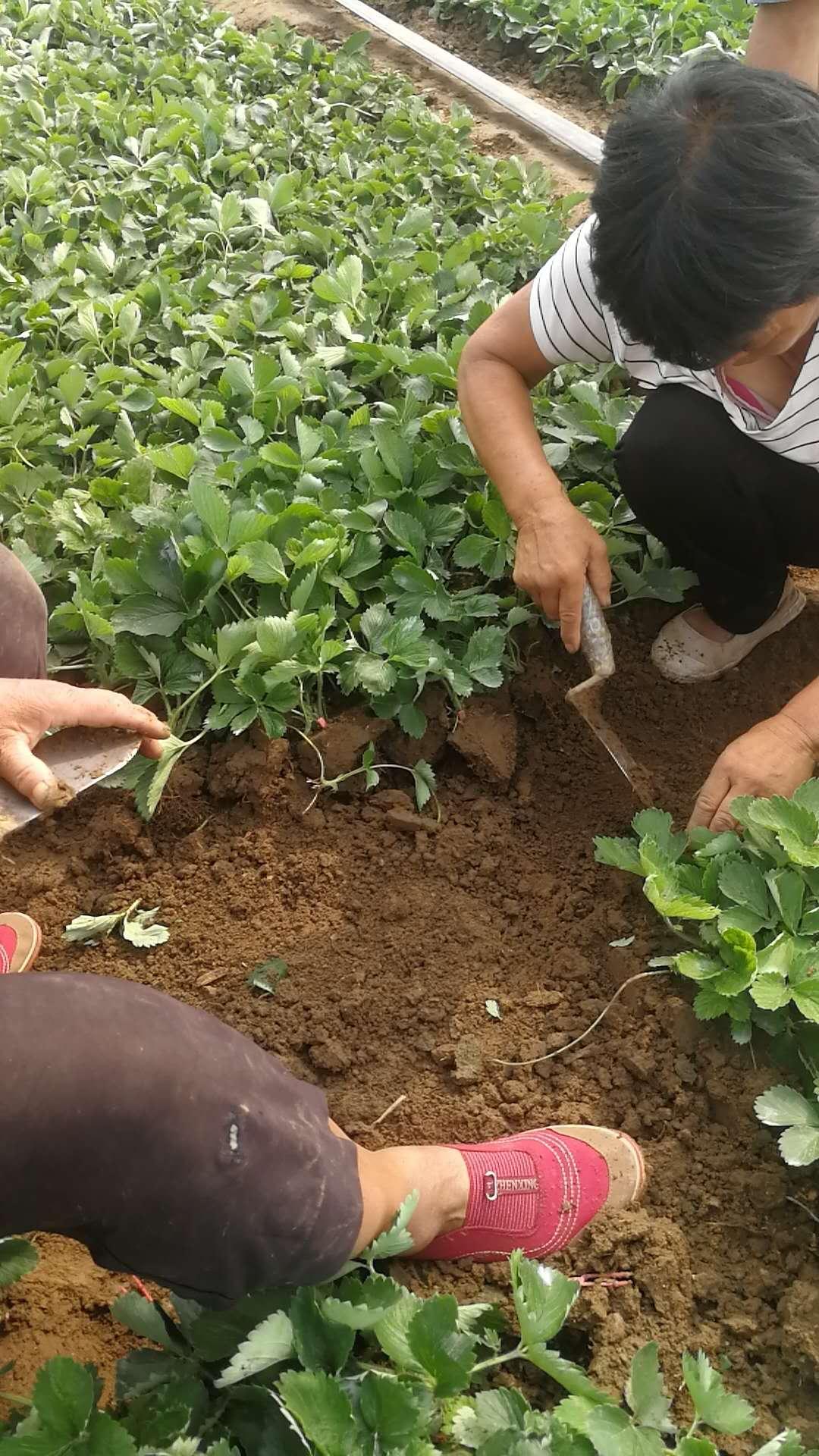 大棚草莓苗主產區價格、四季草莓苗本地賣苗價格