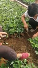 草莓苗種苗主產區價格、四季草莓苗主產區價格圖片