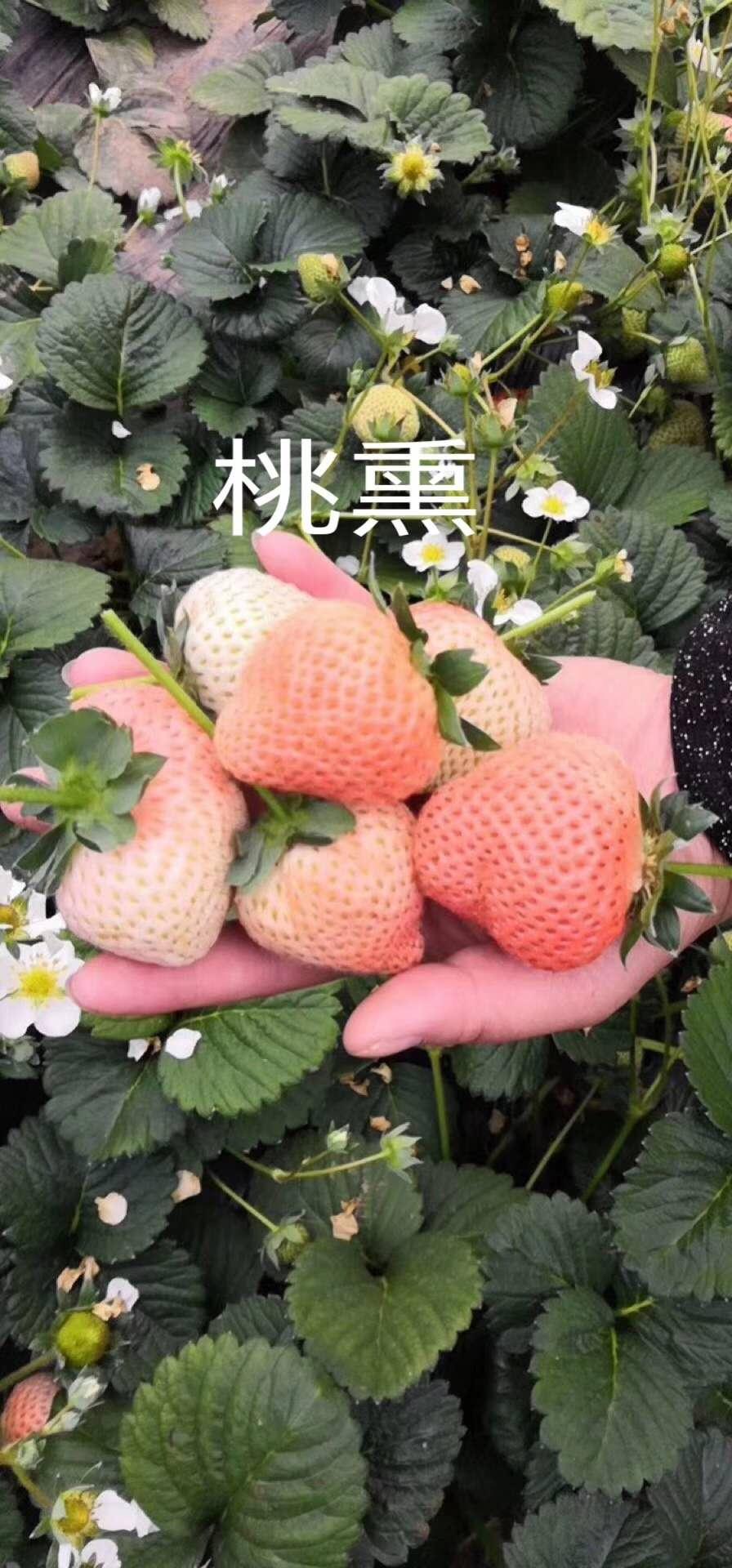 露天草莓苗種植技術、章姬草莓苗一畝苗價格