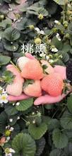 草莓苗種苗基地批發價、章姬草莓苗畝產量高圖片