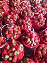 蒙特瑞草莓苗主產區價格、紅顏草莓苗價格圖片