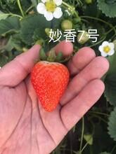 四季草莓苗基地、草莓苗成苗一畝苗價格圖片