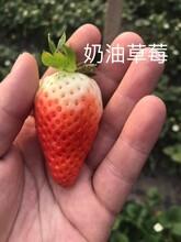 白草莓苗管理技術、妙香草莓苗基地批發價圖片