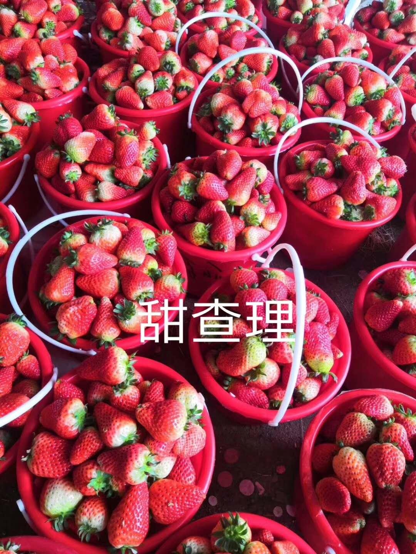 草莓苗成苗栽種時間、草莓苗成苗栽種時間