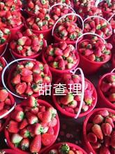 豐香草莓苗管理技術、紅顏草莓苗產地圖片