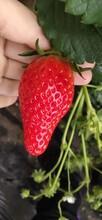 章姬草莓苗基地賣價、露天草莓苗一畝苗價格圖片