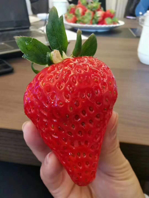 小白草莓苗價格、甜寶草莓苗畝產量高