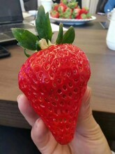 豐香草莓苗畝產量高、豐香草莓苗栽種時間圖片