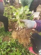 白草莓苗栽種時間、草莓苗畝產量高圖片