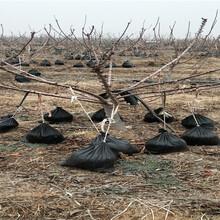 新疆庫爾勒美早櫻桃樹苗栽種技術圖片