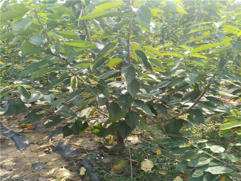 重慶潼南新品種櫻桃樹主產區報價