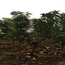 江蘇宿遷美早櫻桃樹苗這里賣的好圖片
