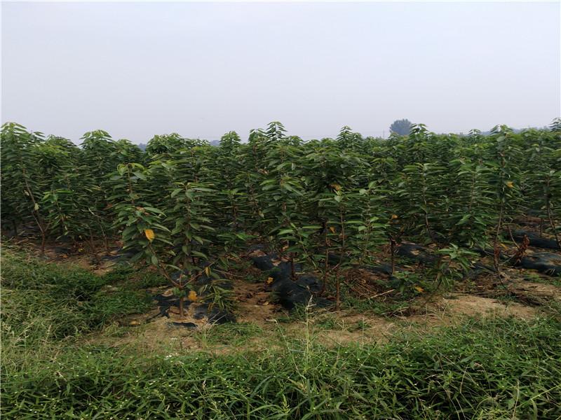 新疆阿勒泰俄八大櫻桃樹采購批發價