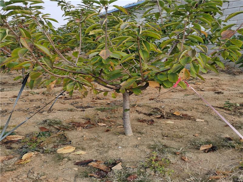 新疆伊犁哈薩克奇早櫻桃樹苗樹苗地方有
