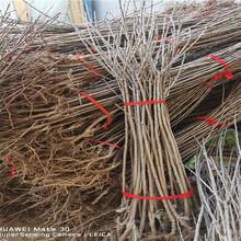 河北衡水晚熟大櫻桃樹近期批發價格圖片