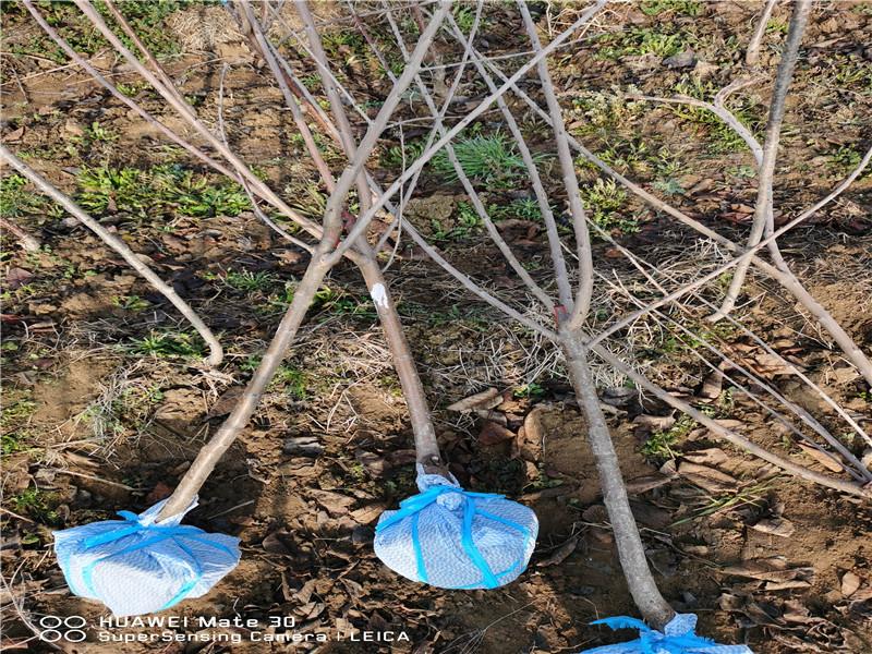 重慶巫山晚熟大櫻桃樹多錢一棵