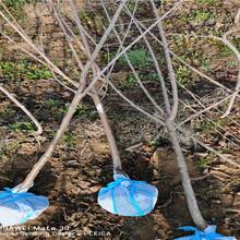 湖北天門新品種櫻桃樹賣的價格圖片