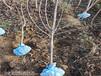 河北廊坊新品種櫻桃樹出售價錢