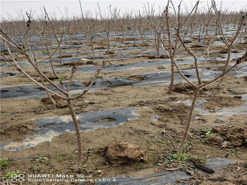 河北衡水新品種櫻桃樹出售價錢