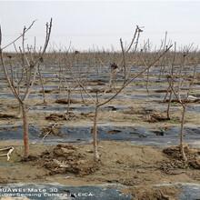 新疆阿勒泰俄八大櫻桃樹采購批發價圖片