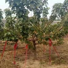 重慶長壽俄八大櫻桃樹近期價格圖片