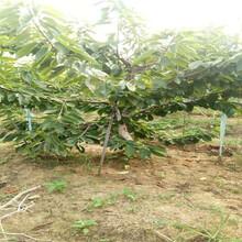 重慶永川新品種櫻桃樹近期批發價格圖片