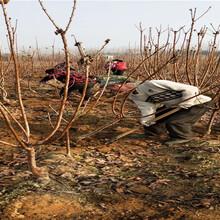 云南紅河矮化櫻桃樹批發價格圖片