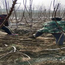 新疆阿泰勒大櫻桃樹育苗基地賣價圖片