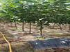 河南鄢陵嫁接櫻桃樹苗主產區售價