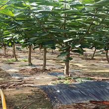 安徽蚌埠新品種櫻桃樹基地批發報價圖片