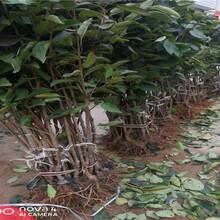 云南昆明俄八大櫻桃樹品種介紹圖片